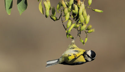 Las pequeñas aves colonizaron las islas del Atlántico hace 8 millones de años